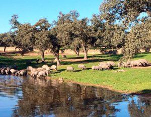 cerdos ibéricos cebo campo