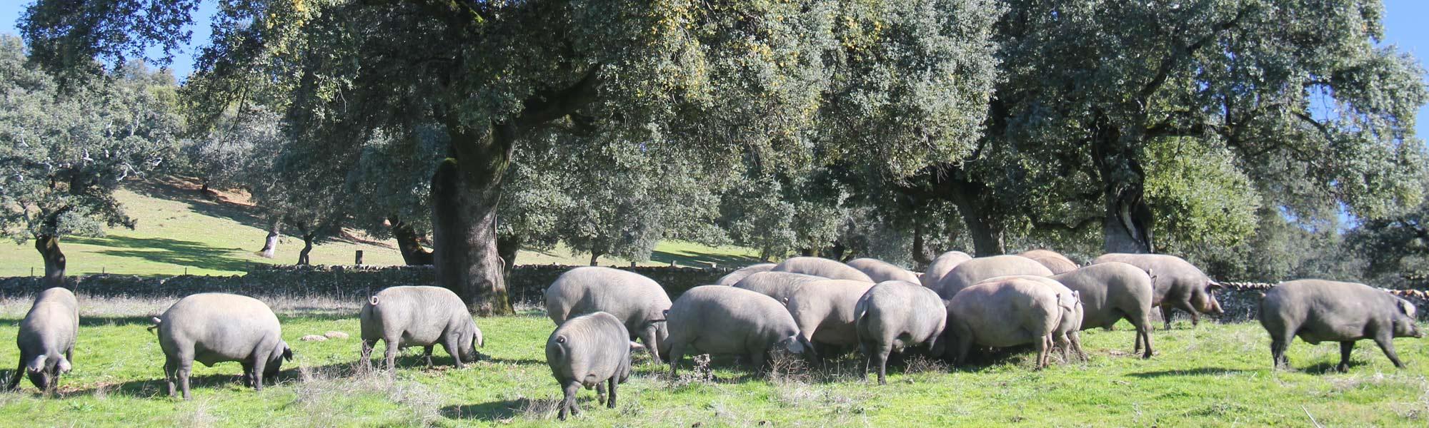 cerdos ibéricos en dehesa